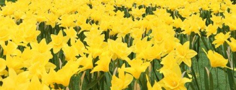 Marie Curie Great Daffodil Appeal 2018