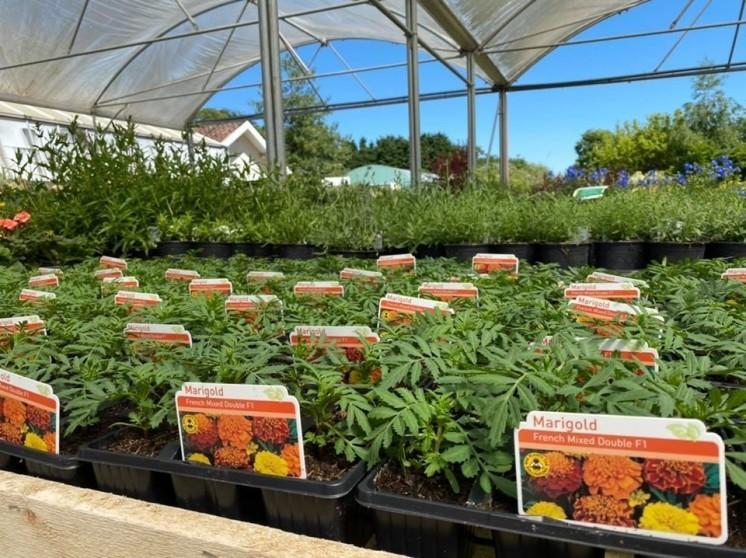 Marigold 6 packs & 1L perennials back in stock 🌼🌸