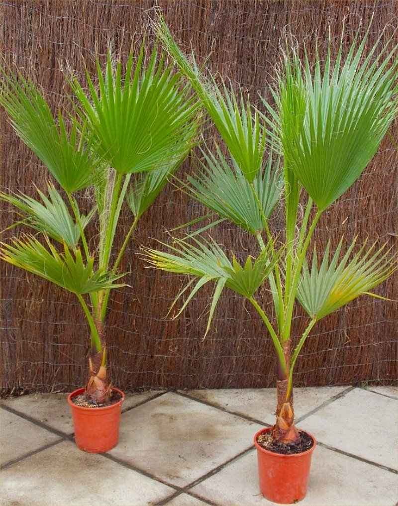 SPECIAL DEAL - £30 OFF this Mexican Fan Palm!
