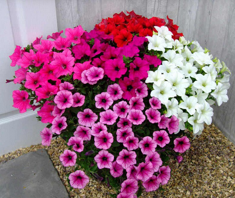 Petunia Surfinia Large Flowered Plants - Mixed - £7.99
