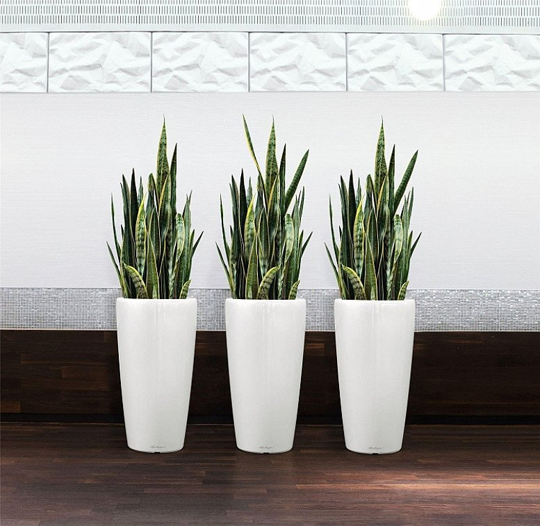 Variegated Snake Plants - Sansevieria - Pack of THREE- £39.99