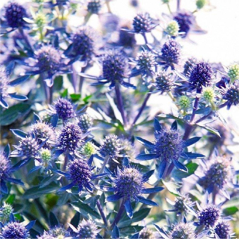 Eryngium planum - Eryingium - Blue Sea Holly- £7.99