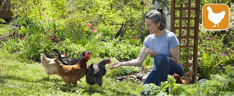 keeping chickens has seen a big rise in popularity...