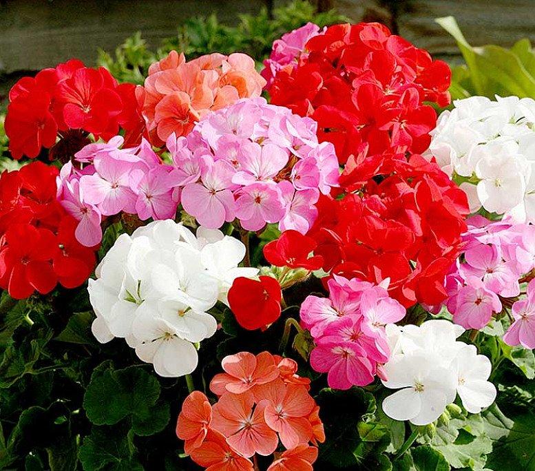 Geranium Upright Mix Plants - Our Selection - £35.00