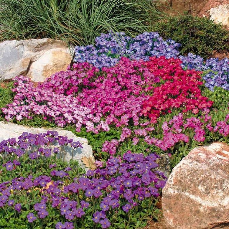 June Flowers to Plant - Aubrieta Seeds - Spring Charm Mixed £1.99!