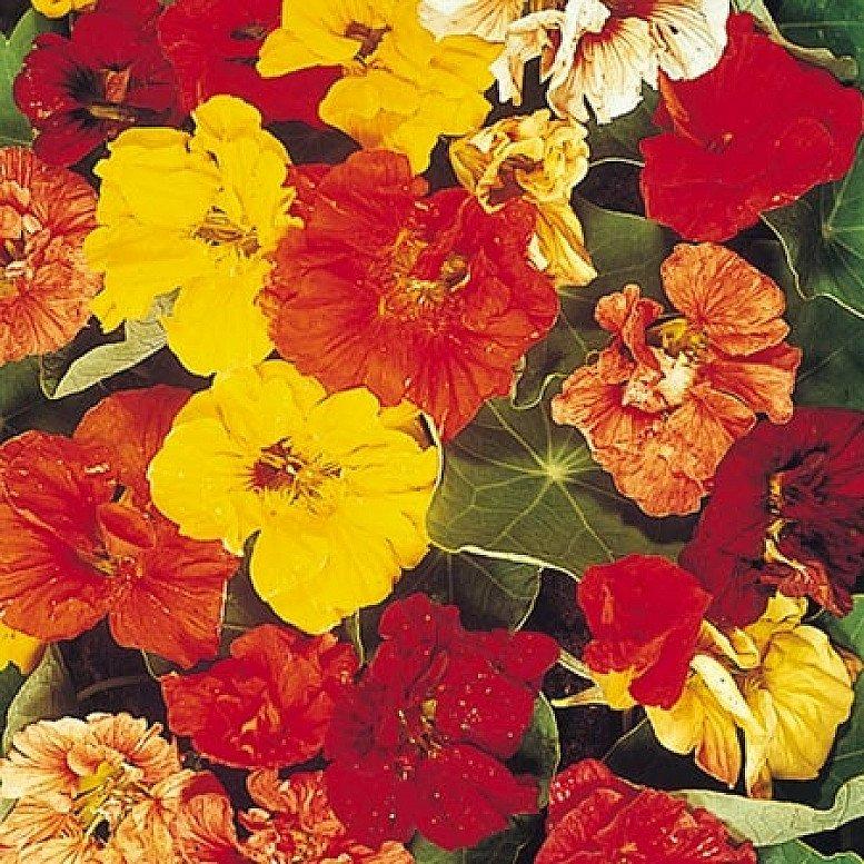 June Flowers to Plant - Nasturtium Seeds - Trailblazer £2.49!