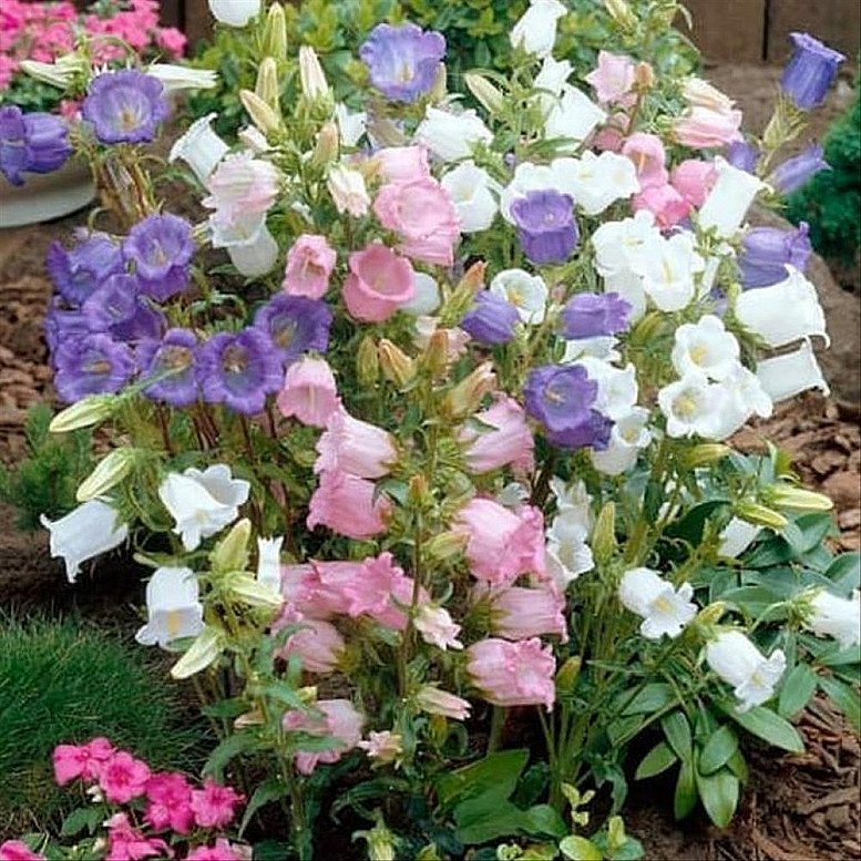 June Flowers to Plant - Canterbury Bell Seeds - Cup and Saucer Mixed, £1.99!