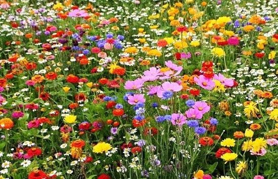Bees & Butterflies Wildflower Seed Mix